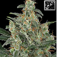 BlimBurn Seeds Kabrales Automatic Feminized
