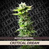 Zambeza Seeds Critical Dream Auto Feminized