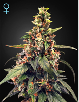 Green House Seeds Great White Shark CBD Feminized