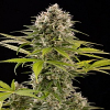 Dinafem Seeds Industrial Plant Feminized (PICK N MIX)