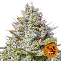 Barney's Farm Seeds Blue Gelato 41 Feminized