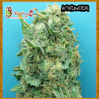 Dr Krippling Seeds Grand Heft Auto Feminized