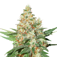 Seed Stockers Seeds O.G. Kush Feminized