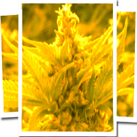 Emerald Triangle Seeds Cheesy Headband Feminised