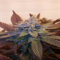 Moxie Seeds Viper City O.G 13 Feminized