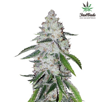 West Coast OG Auto – Feminized – Fast Buds