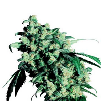 Sensi Seeds Super Skunk Regular
