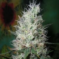 British Columbia Seeds Afghani Dream Auto Feminized
