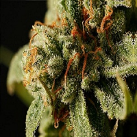 Dinafem Seeds Sweet Deep Grapefruit Feminized