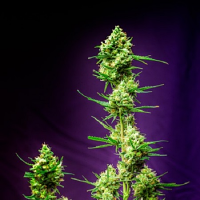 Homegrown Natural Wonders Seeds Nurse Jackie Regular