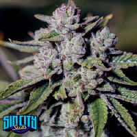 Sin City Seeds Medical Glue Feminized