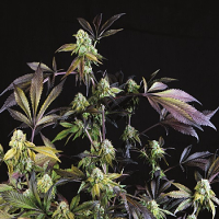 Sunset Sherbet - Feminized - Pyramid Seeds