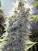 Female Seeds C99 Feminized