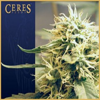 Ceres Seeds Kush Regular
