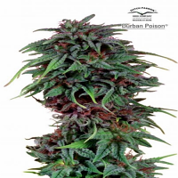 Dutch Passion Seeds Durban Poison Feminized