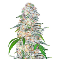 Blue Dream'matic Auto – Feminized – Fast Buds