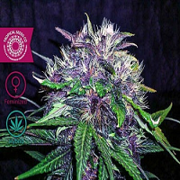 Tropical Seeds Co Red Afro Feminised