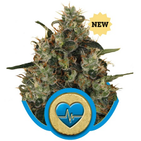 Royal Queen Seeds Medical Mass Feminized