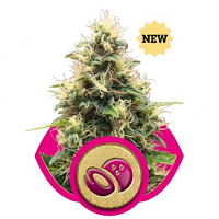 Royal Queen Seeds Somango XL Feminized