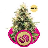Somango XL – Feminized – Royal Queen Seeds