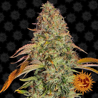 Barney's Farm Seeds Zkittles O.G. Auto Feminized (PICK N MIX)