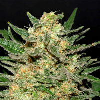 Kannabia Seeds Thai Fantasy Feminized