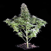 Dinafem Seeds White Siberian Feminized (PICK N MIX)