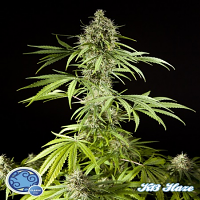 Philosopher Seeds K-13 Haze Feminized