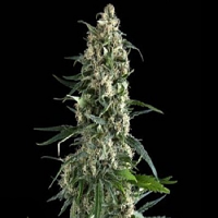 Pyramid Seeds Amnesia Gold Feminised