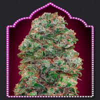 OO Seeds Bubble Gum Feminized