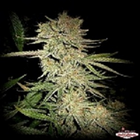 Sin City Seeds Dream n Sour Regular