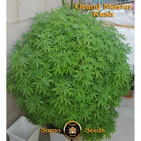 Sumo Seeds Grand Master Kush Regular