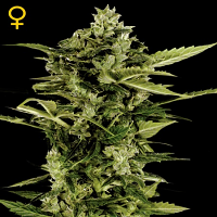 Green House Seeds Auto Bomb Feminized