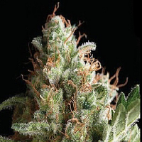 Pyramid Seeds American Pie Feminized