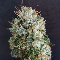 Bulk Exclusive Seeds Guava Kush Feminized