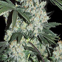 Super Strains Seeds 7th Wave Feminized (PICK N MIX)