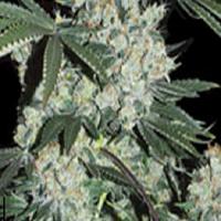 Super Strains Seeds 7th Wave Feminized (PICK N MIX)