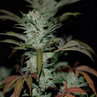 Reserva Privada Seeds Sour Kush AKA Headband Regular