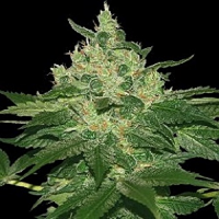 World of Seeds Landrace Afghan Kush Regular