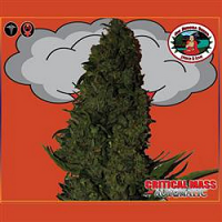 Big Buddha Seeds Critical Mass Auto Feminized