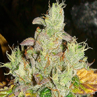 Lady Sativa Genetics Seeds Orange Diesel Regular