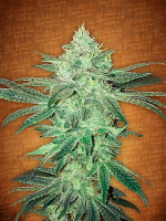 FastBuds Seeds Stardawg Auto Feminized (PICK N MIX)