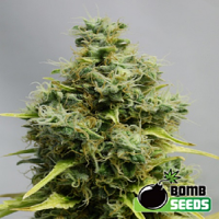 Bomb Seeds Big Bomb Feminized