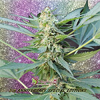 Dr Krippling Seeds Mango Chutney Auto Feminized (PICK N MIX)