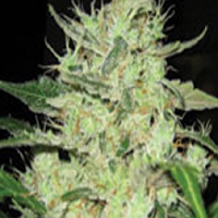Super Strains Next of Kin Feminized