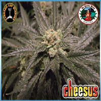 Big Buddha Seeds Cheesus Feminized