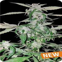 Dispensario Seeds Auto Island Diesel Feminized