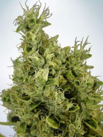 Ministry of Cannabis Seeds Auto Mandarin Haze Feminized