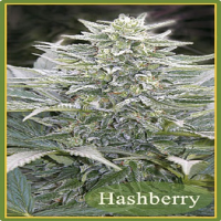 Mandala Seeds Hashberry Regular