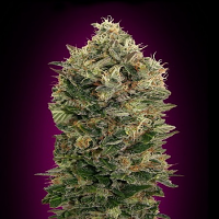 Advanced Seeds Auto Black Diesel Feminised (PICK N MIX)